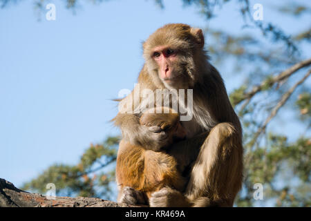 Rhesus macaque (Macaca mulatta) monkey with baby sitting in tree - Stock Photo
