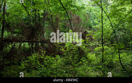 fresh deciduous stand of bialowieza forest in springtime - Stock Photo