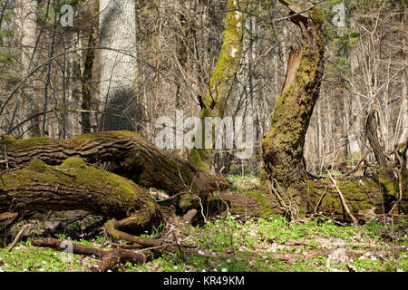 deciduous stand of bialowieza forest in spring - Stock Photo
