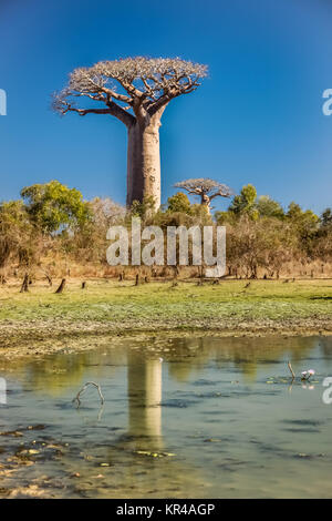 Baobabs reflection in water - Stock Photo
