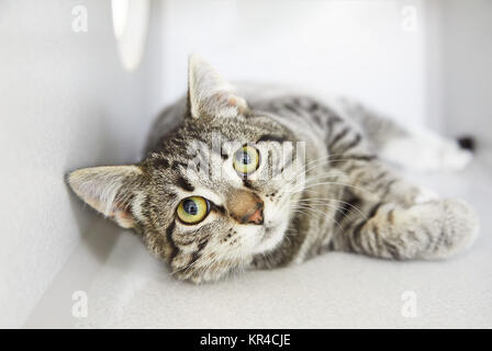 Gray tabby friendly cat rolling and asking for attention - Stock Photo