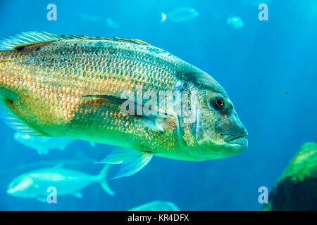 Red porgy or common seabream (Pagrus pagrus). - Stock Photo