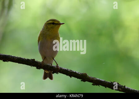 Wood Warbler ( Phylloscopus sibilatrix ), male in breeding dress, perched on a branch, in its typical habitat, in - Stock Photo