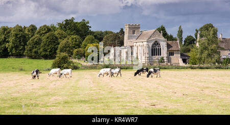 Oundle, England, UK - August 19, 2017: Cows graze on pasture in the Nene Valley, in front of St Andrew's Church - Stock Photo