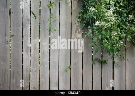 Eine Efeupflanze wächst über einen Holzbretterzaun.