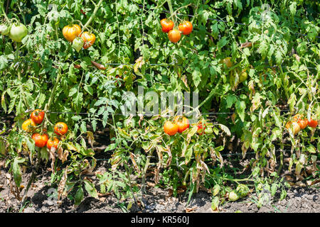 tomato bushes with fruits in vegetable garden - Stock Photo