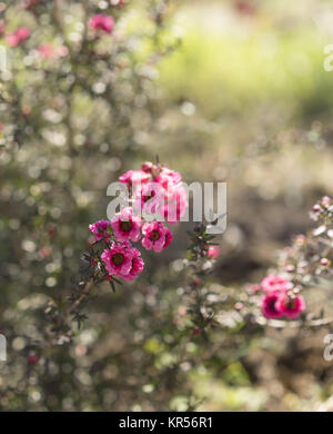 Early morning sunlight streaming on pink flowers - Stock Photo