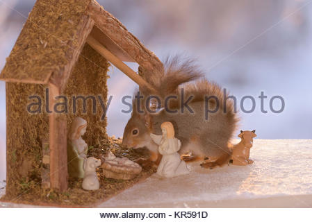 red squirrel in a Nativity winter Scene on ice - Stock Photo