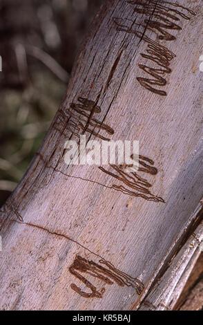 Moth larva trails on gum tree bark - Stock Photo