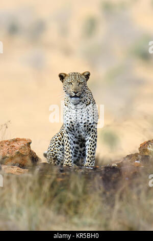 Wild african leopard. National park of Africa, Kenya - Stock Photo
