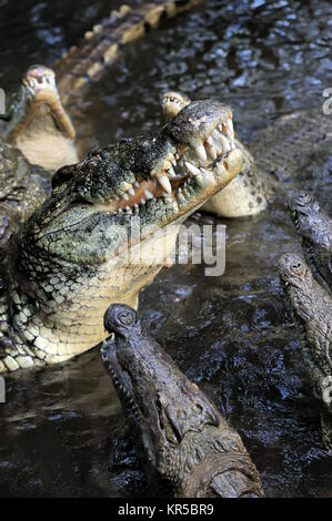 Close-up large crocodile in water. Kenya, Afrca - Stock Photo