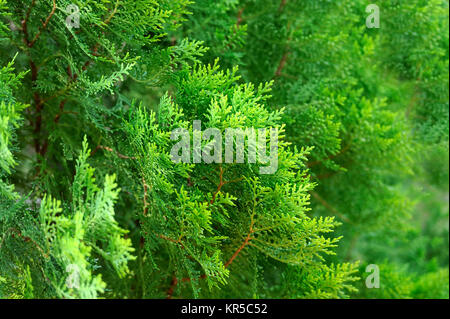 Green Thuja hedge texture close-up view - Stock Photo