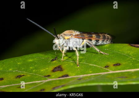 Hairy Flower Wasp (Radumeris radula), Cooktown, Far North Queensland, FNQ, QLD, Australia - Stock Photo
