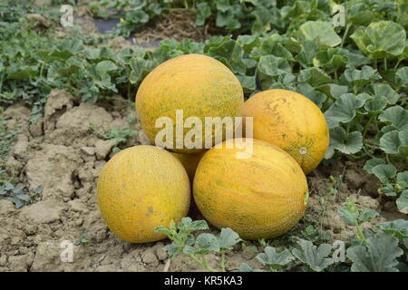 Melons, plucked from the garden, lay together on the ground - Stock Photo