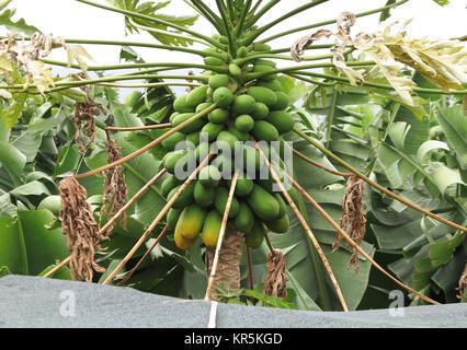 Mangoes growing on a banana plantation near the small village of La Bombilla on the Atlantic coast on La Palma in - Stock Photo