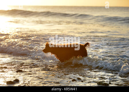 Cuckmere Haven, East Sussex. 18th December 2017. A Cocker spaniel paddling in the sea at Cuckmere Haven on a beautiful - Stock Photo