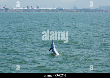 Indo-Pacific Humpback Dolphin / Chinese White Dolphin / Pink Dolphin (Sousa Chinensis) in the waters of Hong Kong, - Stock Photo