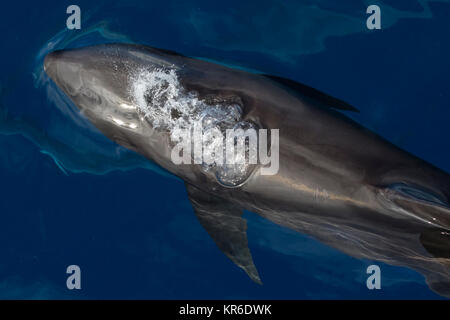 Melon-headed Whale or Melon-headed Dolphin (Peponocephala electra) coming close to the boat in a large pod, mixed - Stock Photo
