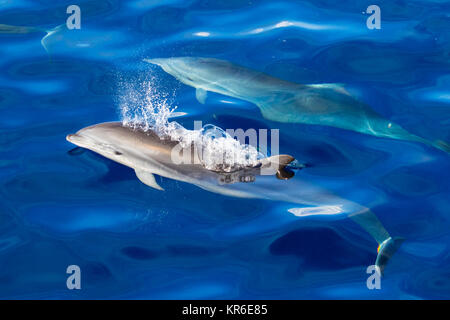 Fraser's dolphin (Lagenodelphis hosei) or the Sarawak dolphin getting close to the boat in large group - Stock Photo