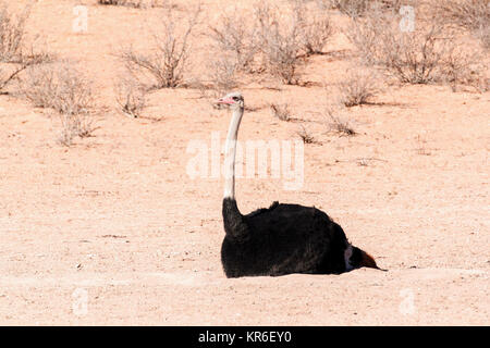 Ostrich in dry Kgalagadi park, South Africa - Stock Photo