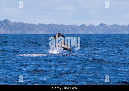 Common Bottlenose Dolphin (Tursiops truncates) mother and calf leaping up high - Stock Photo