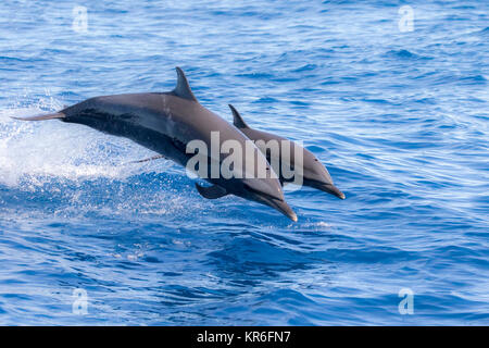 Pantropical Spotted Dolphin (Stenella attenuata) jumping and socializing near to our boat - Stock Photo