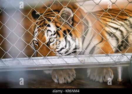Siberian tiger (Panthera tigris tigris), also called Amur tiger, in a cage looking sad - Stock Photo