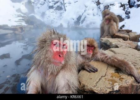 Japanese Macaque (Macaca fuscata) in the winter snow, Joshin-etsu National Park, Honshu, Japan. - Stock Photo