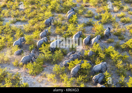 Aerial view of herd of African Elephants walking through the bush in lush delta. - Stock Photo