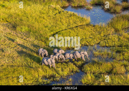 Aerial view of herd of African Elephants standing by a watering hole in lush delta. - Stock Photo