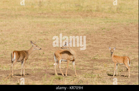 Whitetail deer (odocoilus virginianus) on farm land in Washington - Stock Photo