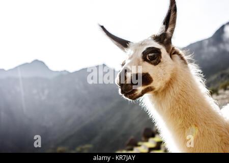 Llama portrait in Machu Picchu, Cuzco, Peru - Stock Photo