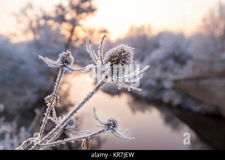 Close up of Frozen Teasel Plants beside a River in England, UK - Stock Photo
