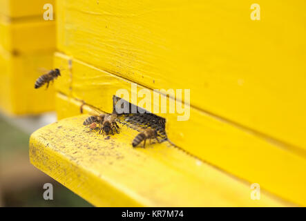 Honey bees are getting in and out of the yellow hive - Stock Photo