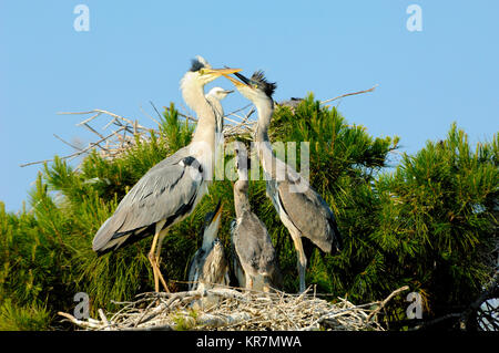 Pair of Adult Grey Herons, Ardea cinerea, and Young or Fledglings on Nest, in a Heronry or Heron Rookery, Camargue - Stock Photo
