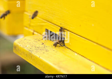 close up honey bees are getting in and out of the yellow hive - Stock Photo