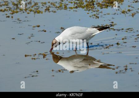 Black-Headed Gull, Larus ridibundus, Feeding in Shallows of Vaccarès Lake or Etang de Vaccarès, Camargue Wetlands, - Stock Photo