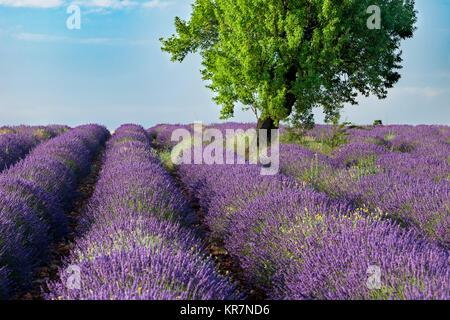 Rows of Lavender along the Valensole Plateau, Alpes- de-Haute-Provence, Provence France - Stock Photo