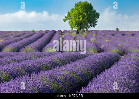 Rows of Lavender along the Valensole Plateau, Alpes- de-Haute-Provence, Provence France - Stock Photo