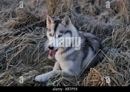 Siberian husky dog wolf in frozen grass, Scotland - Stock Photo