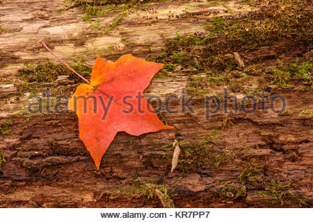 A single maple leaf rests on a decaying log in late October within the Pike Lake Unit, Kettle Moraine State Forest, - Stock Photo