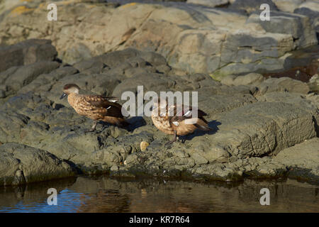 Pair of Crested Duck (Lophonetta specularioides specularioides) preening next to a rock pool on Saunders Island - Stock Photo