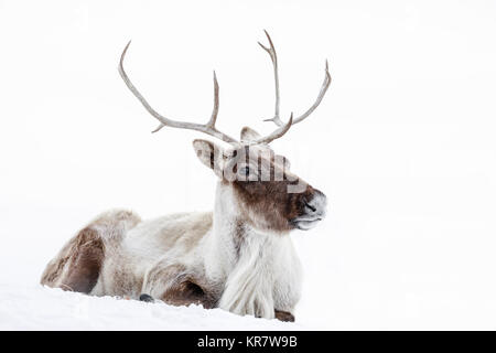 Reindeer, also known as the Boreal Woodland Caribou in North America, Rangifer tarandus, Manitoba, Canada. - Stock Photo