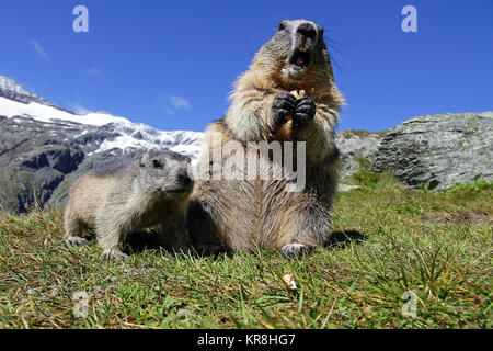 marmot family in the mountains. a female marmot with cub - Stock Photo