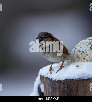 House Sparrow Passer domesticus single male on snow covered log. British Isles - Stock Photo