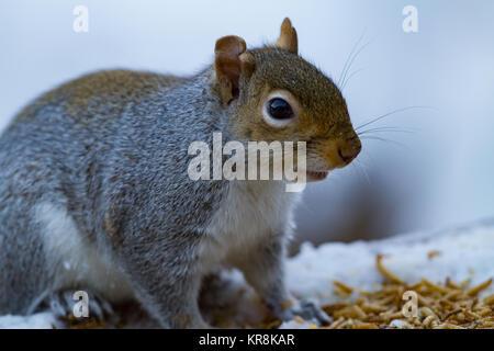 Grey Squirrel Sciurus carolinensis  Back garden. UK - Stock Photo