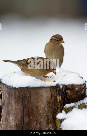 House Sparrow Passer domesticus two adult females on log in snow. Back garden. British Isles - Stock Photo