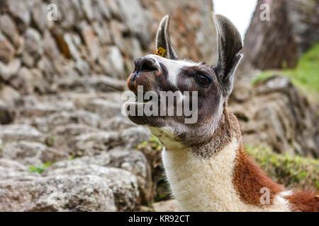 Llama chewing grass in Machu Picchu, Cuzco, Peru - Stock Photo