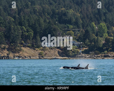 Killer whales in front of houses off Vancouver Island, Canada - Stock Photo