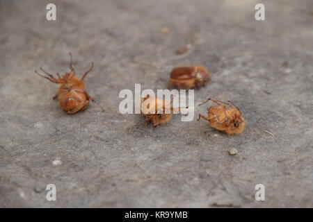 Melolontha east on the ground - Stock Photo